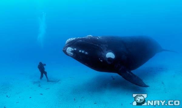 Голубой кит и водолаз