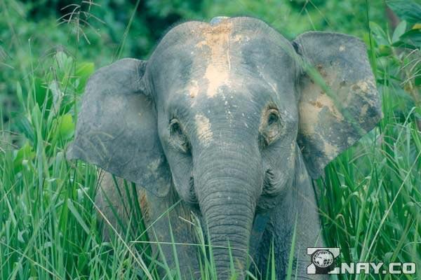 Борнейский слон в Африке