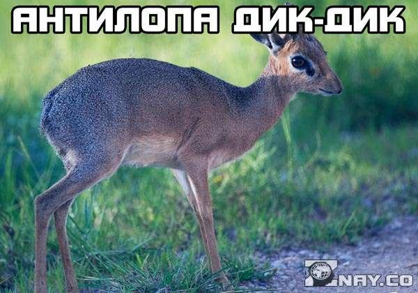 Антилопа дикдик - кто она