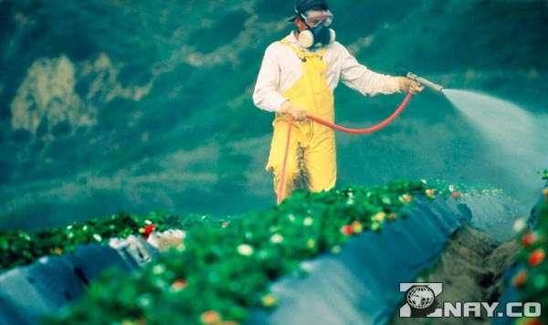 Опрыскивает овощи пестицидами
