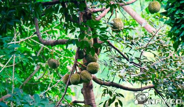Растение дуриана