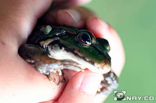 Бывают ли бородавки от лягушек и жаб thumbnail