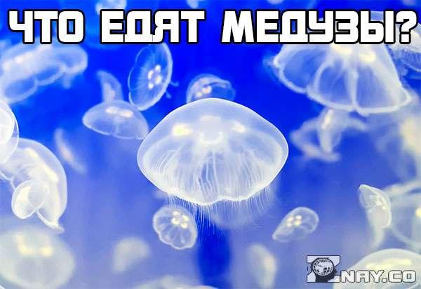 Что едят медузы?