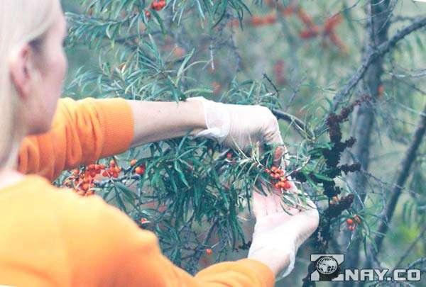 Собирает желтые ягоды вручную