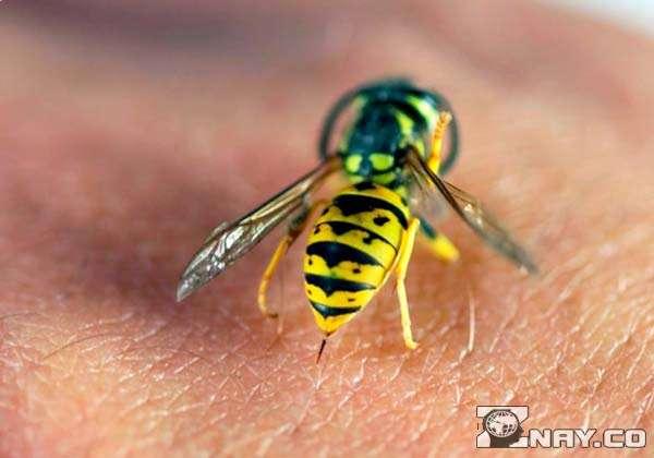 Опасное полосатое насекомое