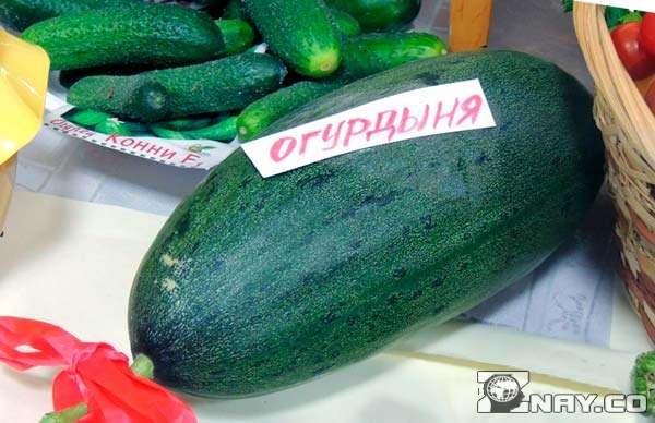 Продолговатый зеленый овощ - огурдыня