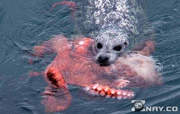 Тюлень охотится на осьминога