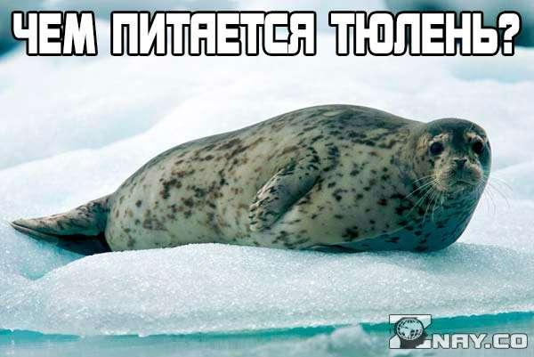 Чем питается тюлень?