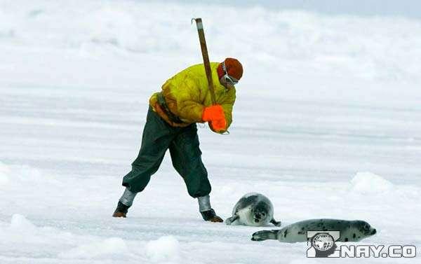 Люди охотятся на тюленей на севере