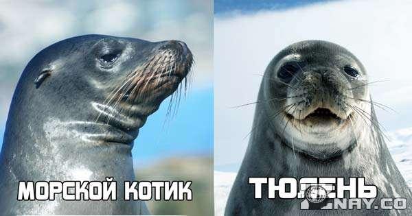 Слева - морской котик, справа - тюлень