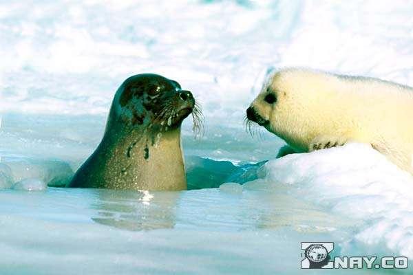 Животное и его тюлененок