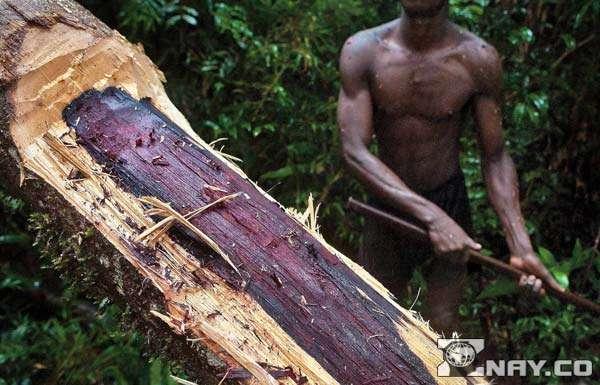 Срубили палисандр - ствол дерева