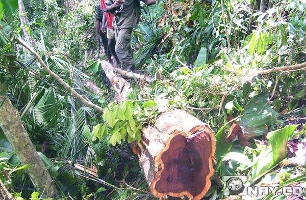 Дерево начали вырубать