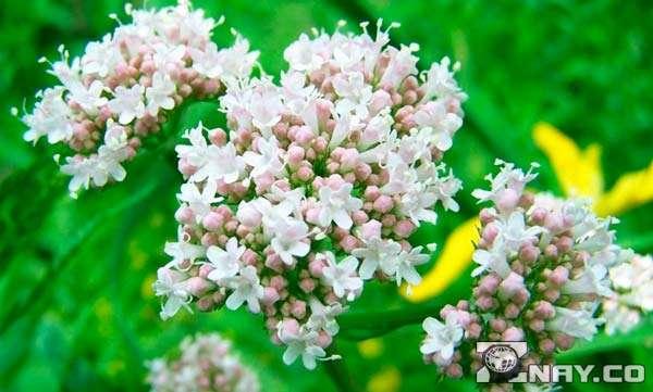 Растение валерьяна лекарственная