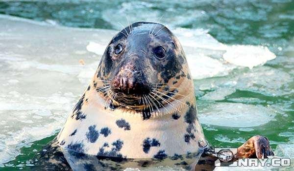 Из этих тюленей делают препараты