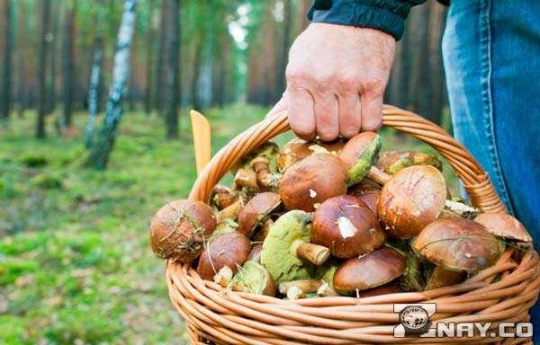 Добывает грибы в лесу