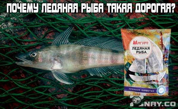 Почему ледяная рыба такая дорогая?
