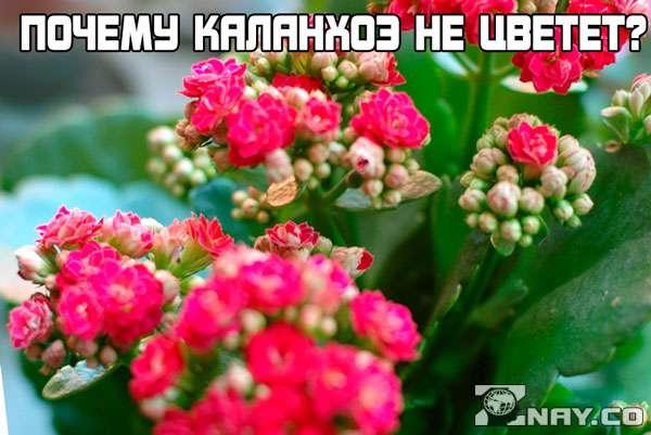 Почему не цветет каланхоэ в домашних условиях?