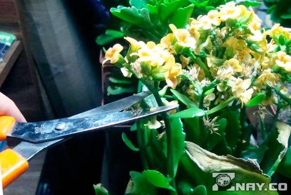 Как обрезать каланхоэ после цветения?