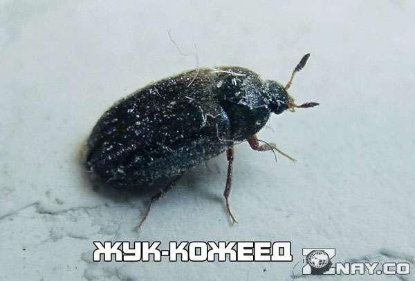 Кожеед обыкновенный - насекомое