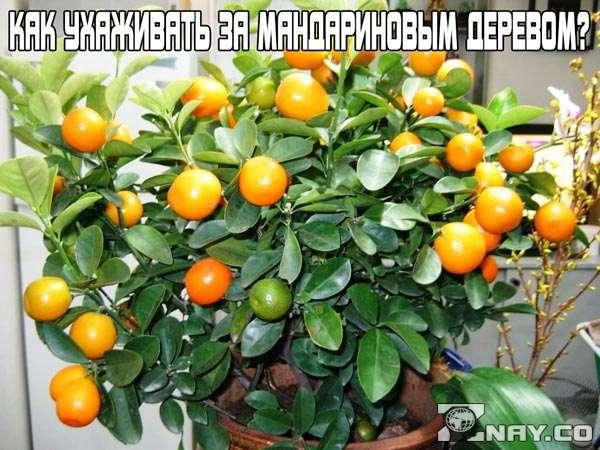 Как ухаживать за мандариновым деревом ?
