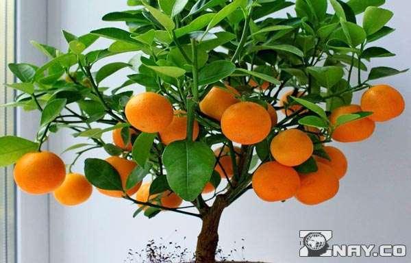Деревце с оранжевыми мандаринами