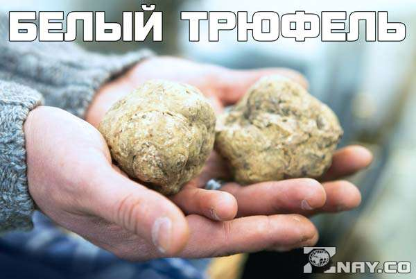 белый трюфель в руках грибника