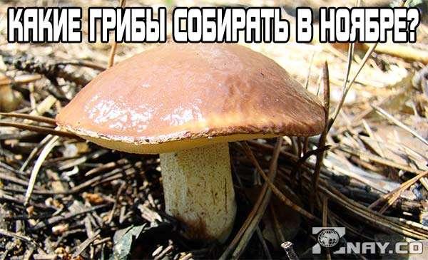 Какие грибы собирают в ноябре?