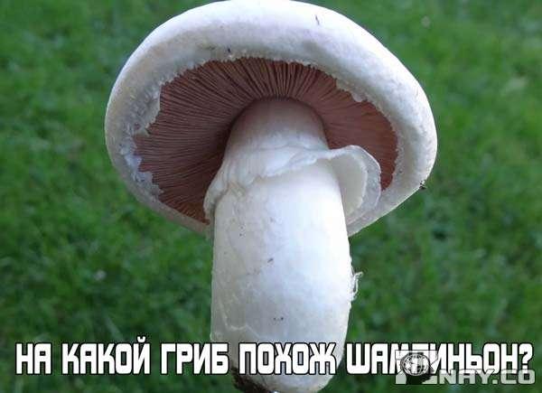 Шампиньоны: на какой гриб похожи они?
