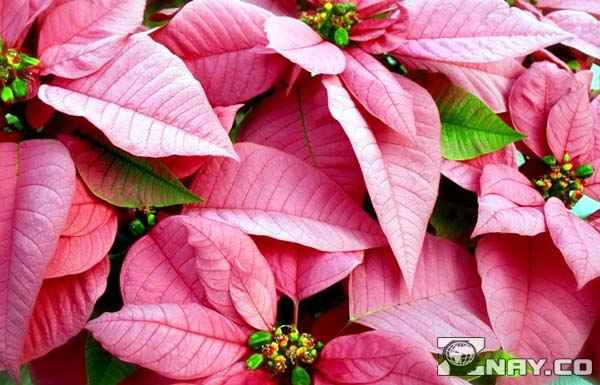 Пуансеттия - розовые цветы