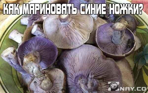 Как правильно замариновать грибы синяя ножка?